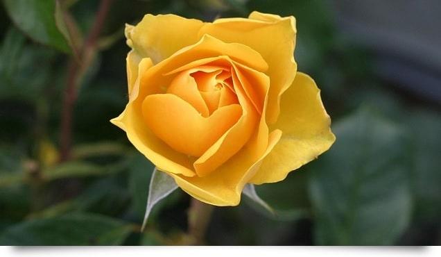 pxb-rose