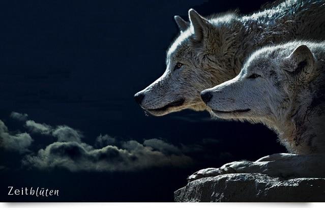 Welcher Wolf Gewinnt Zeitblüten